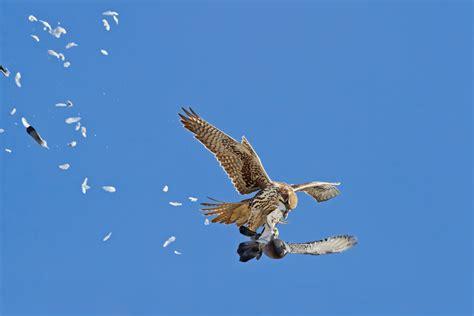 prairie hunt prairie falcon