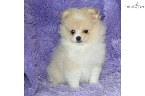 teacup pomeranian puppies for sale in illinois teacup pomeranion puppies for sale in illinois breeds picture