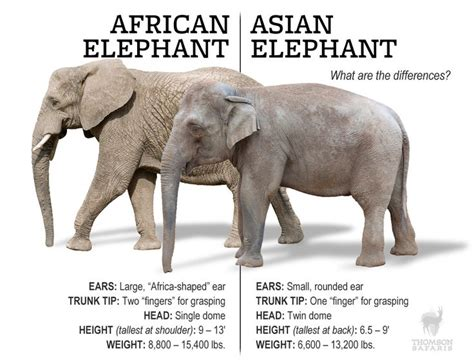 8 Facts On Elephants by Best 25 Asian Elephant Facts Ideas On