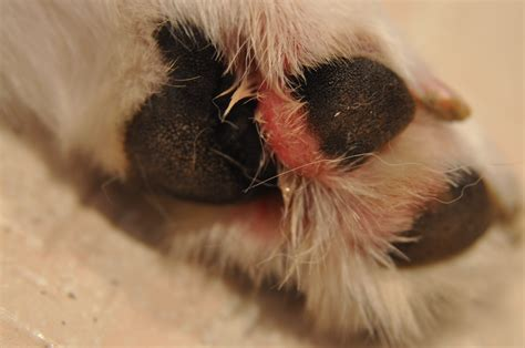 irritated paws paws and irritated breeds picture