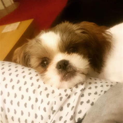 1 year shih tzu for sale shih tzu puppy for sale gillingham kent pets4homes