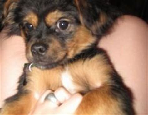 pekingese yorkie mix yorkinese yorkie x pekingese mix info temperament puppies pictures