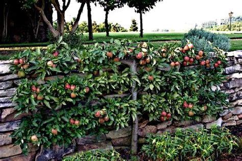 u cordon fruit trees espalier designs