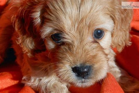 cavapoo puppies mn cavapoo puppy for sale near minneapolis st paul minnesota cba46f1a d031
