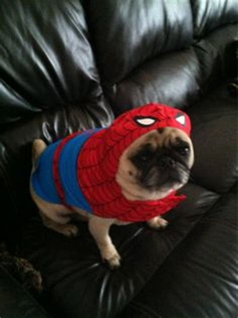 spider pug costume 1000 images about nerdy pets on pet costumes costumes and