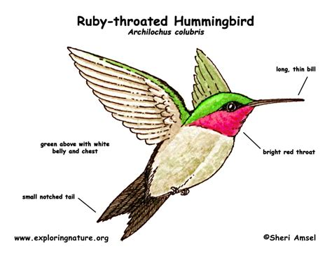 ruby the parakeet books hummingbird ruby throated exploring nature