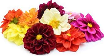 What Is A Dahlia Flower - dahlia flowers information and facts