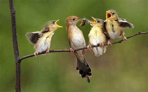birds feeding babies wallpapers 1920x1200 706915