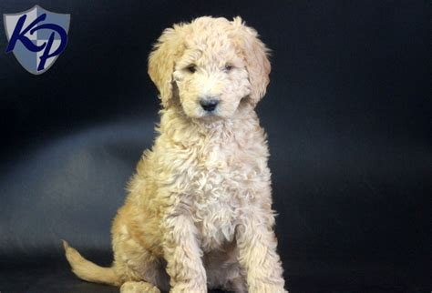 goldendoodle puppies for sale in pa 1000 images about goldendoodle puppies on