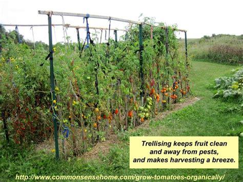 5  Terrific Tomato Trellis Ideas for Easier Picking and