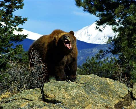 imagenes de osos wallpaper oso pardo 1280x1024 fondos de pantalla y wallpapers