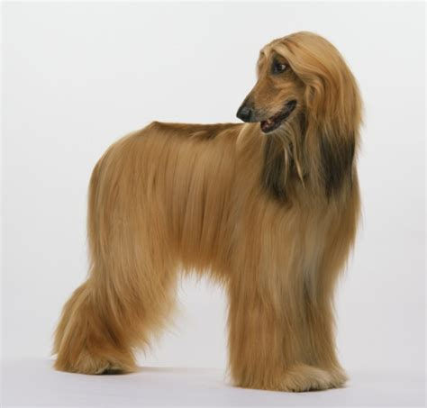 breeds with hair 10 haired breeds with really fur hum ideas