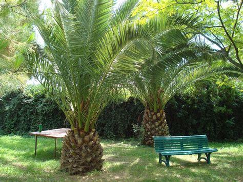 Le Palmier pinet palmiers attaques par les papillons 1