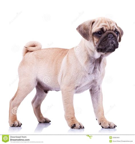 looking for a pug puppy standing pug puppy looking to a side stock images image 23362464