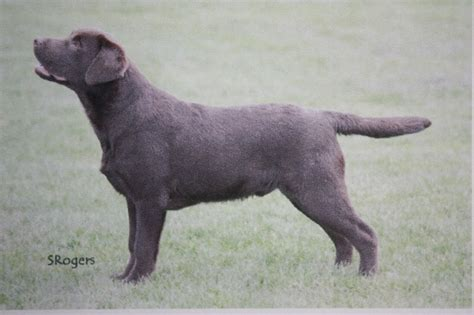 labrador retriever puppies for sale in quality labrador retriever puppies for sale witham essex pets4homes