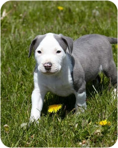 pitbull puppies oregon dozer adopted puppy portland or pit bull terrier