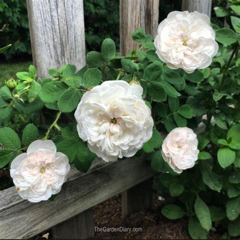 bunga mawar jenis harga  tanaman bunga mawar
