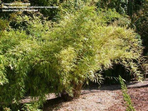 Quail Botanical Gardens Encinitas California Plantfiles Pictures Khasia Bamboo Drepanostachyum Khasianum By Palmbob