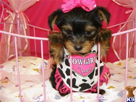 yorkie for cheap price looking yorkie puppies puppies for sale products cameroon looking yorkie