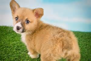 corgi puppies nj corgi puppy belly rubs unleashed