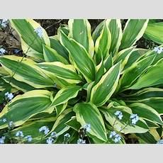 Coneflower Leaves