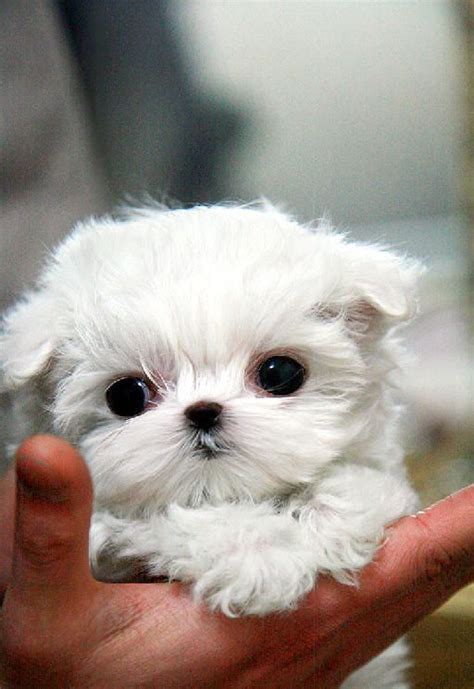 tea cup dogs teacup puppies for sale teacup maltese and teacup puppies on