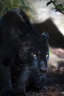shadow stare black jaguar by seb photos