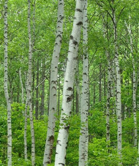 buy silver birch trees betula pendula trees by post