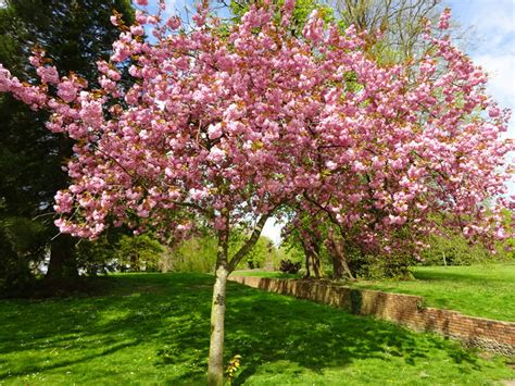 cherry tree meaning the symbolism of the cherry blossom the meaning of cherry blossoms cherry blossom festivals
