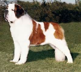 saint bernard dog breed pictures dog lovers pictures
