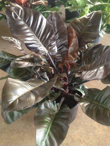 philodendron black cardinal philodendron plant plants
