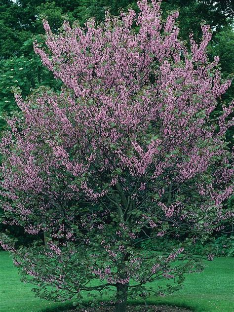 flowering trees and shrubs trees for small spaces small garden trees hgtv