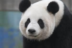 Hao Hao Pandas A Beautiful Gift From China To Belgium