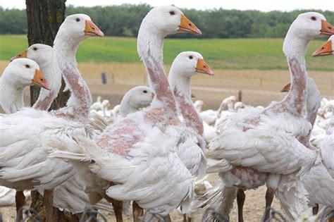 oreillers plumes d oie duvet d oie plumes le scandaleux commerce du duvet
