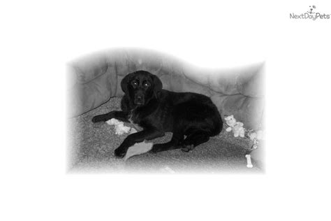 therapy dogs for sale meet tie a labrador retriever puppy for sale for 300 therapy or