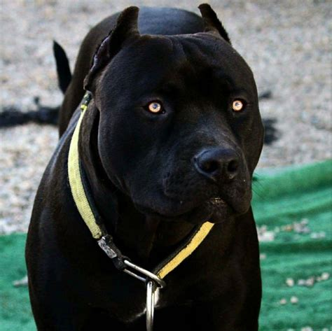 black pitbull puppy ab6e29dab10a524cf0b91dbaa2609921 jpg 1430 215 1427 k9 bodybuilding