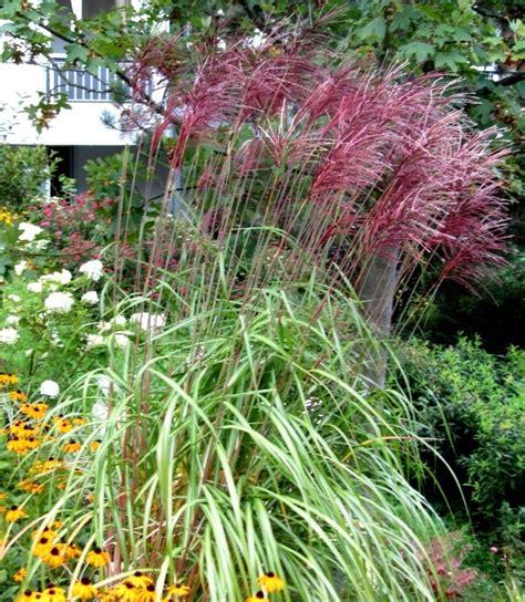 Blumen Für Den Garten Bestellen 1 by Miscanthus Sinensis Ferner Osten Chinaschilf Gr 228 Ser