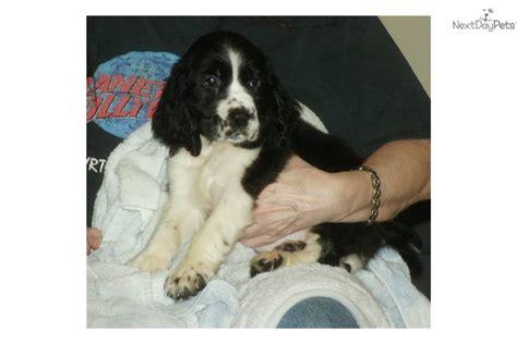springer spaniel puppies nc springer spaniel for sale for 450 near winston salem carolina