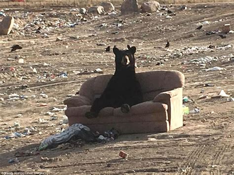 where can i dump a couch mandy stantic photographs black bear relaxing on a couch