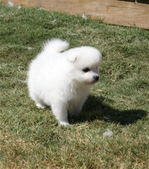japanese spitz puppies for sale japanese spitz puppies for sale japanese spitz for sale