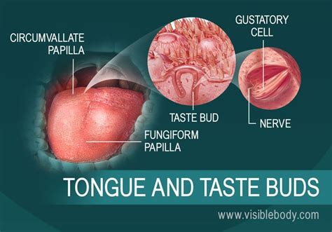 diagram of the tongue and taste buds 1000 ideas about tongue taste buds on senses