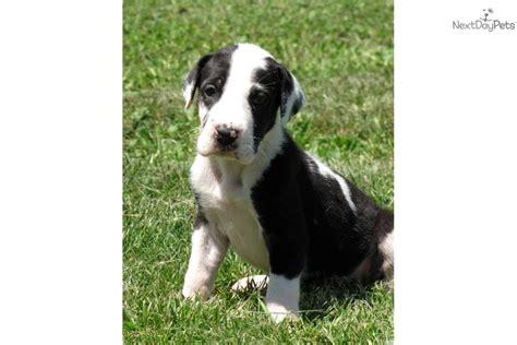 mantle great dane puppies mantle great dane puppies www imgkid the image kid has it