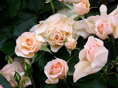 Rose Flower Images by Peter Beales Roses
