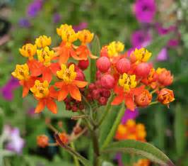 Shade Garden Plants Zone - asclepias curassavica quot milkweed quot buy online at annie s annuals