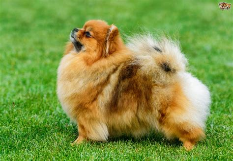 images of pomeranian puppies pomeranian breed information buying advice photos