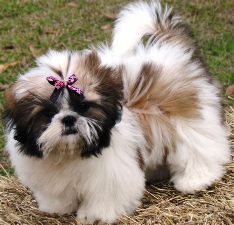 shih tzu photography 1000 images about shih tzu on for dogs birthdays and baby