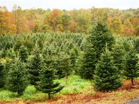 christmas tree farms upstate ny farm fresh trees grown in new york state farm fresh trees grown in ny state