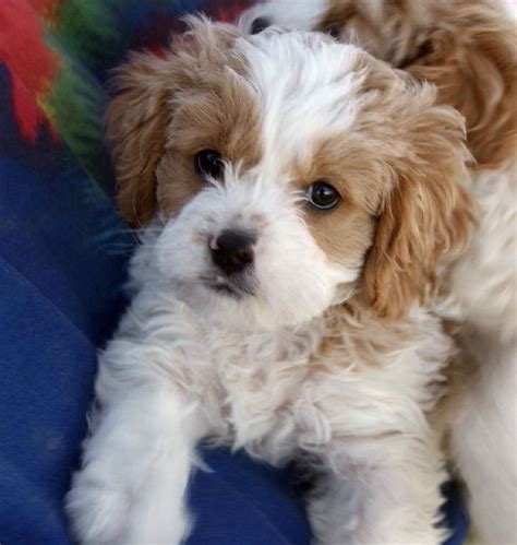 golden retriever cross cavalier king charles spaniel 10 cavalier king charles spaniel cross breeds you to see to believe