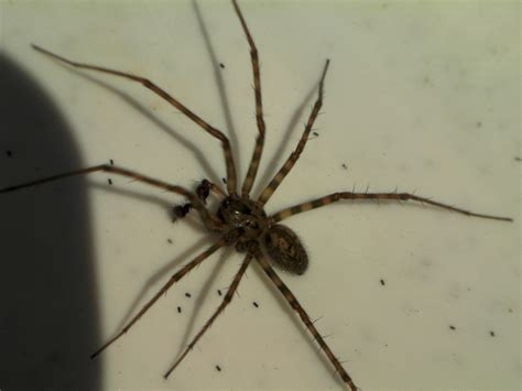 giant house spider seattle house spider seattle 28 images house spider flickr photo spider in seattle