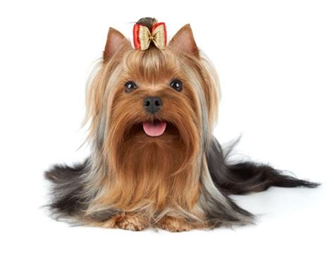 does a yorkie shed what you need to about yorkies and their fur mysweetpuppy net